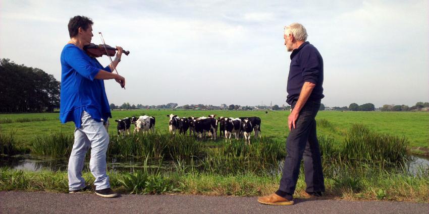 Koeien komen massaal af op vioolmuziek
