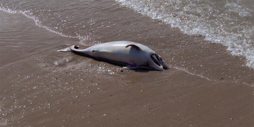 Slechts 18 bruinvissen geteld in de Oosterschelde
