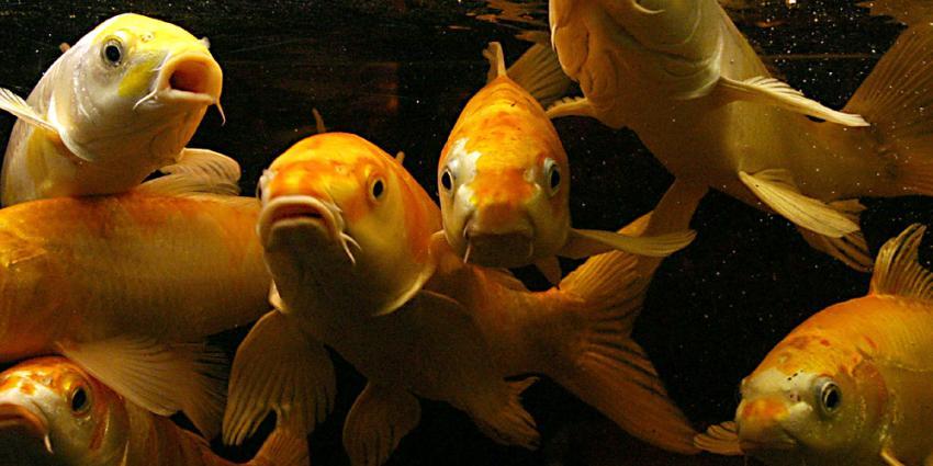 Veenendaler die gracht wilde opfleuren moet 280 goudvissen terugvangen