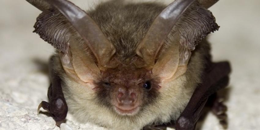 Cocktail van pesticiden gevonden in vleermuizen