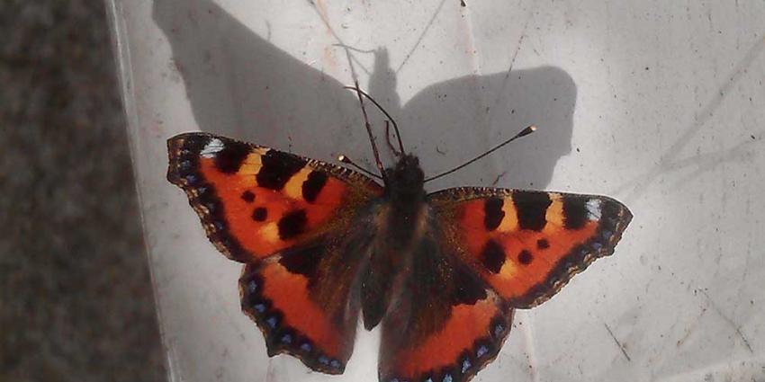 Atalanta tot nu toe meest gezien bij jaarlijkse vlindertelling