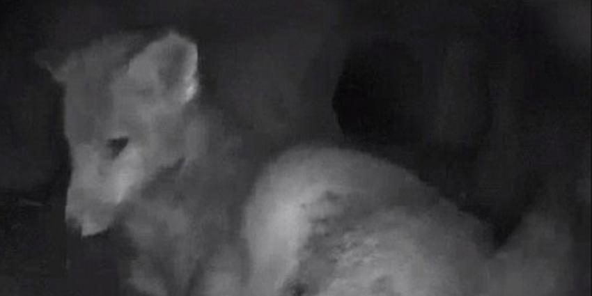 Foto van vossenjong op webcam | Staatsbosbeheer