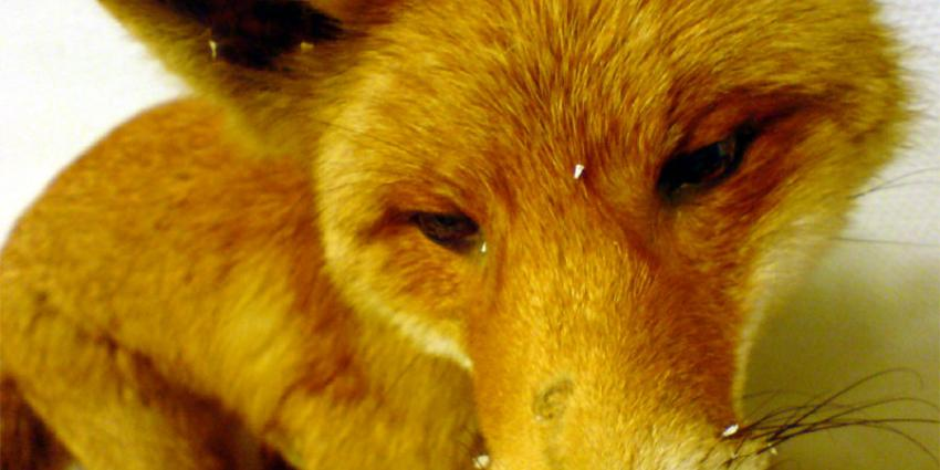 Doden van vossen niet toegestaan in Rotterdam
