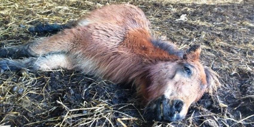 Pony overlijdt in kinderboerderij door vermoedelijk mishandeling