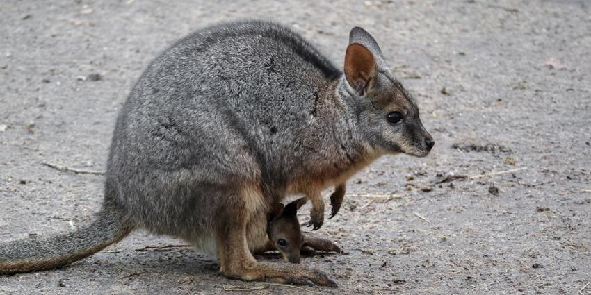 Wallaby-jong ontdekt in DierenPark Amersfoort
