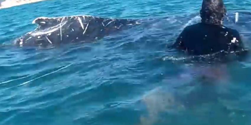 Walvis verlost van stuk touw rond vin door kajakkers