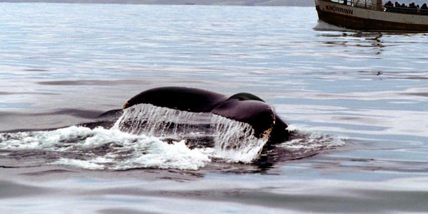 Nederland wil dat walvis- en dolfijnjacht volledig stopt