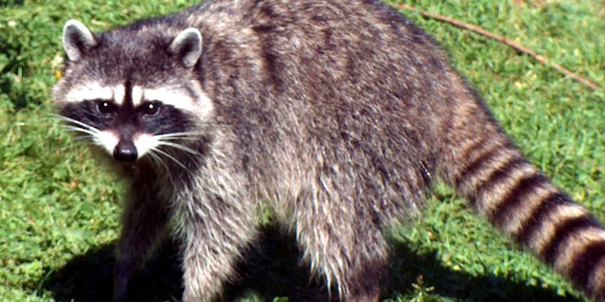 Natuurgebied afgesloten vanwege wasbeer