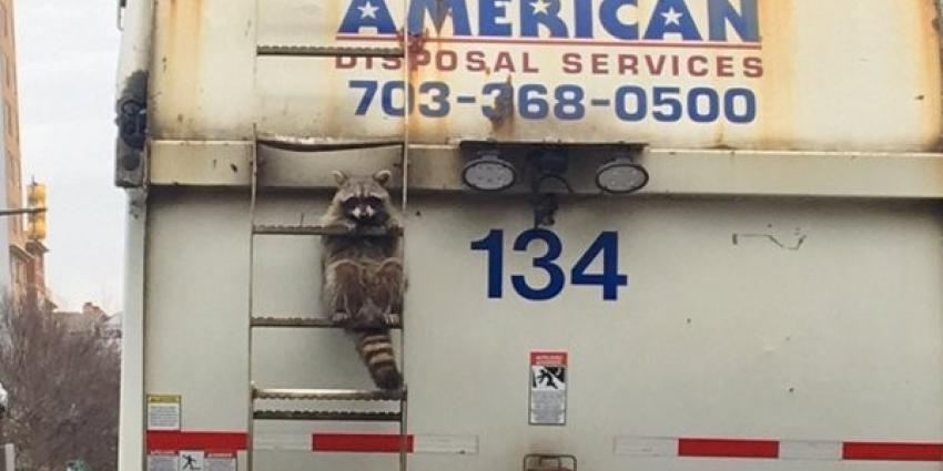 Wasbeer lift mee achter op vuilniswagen