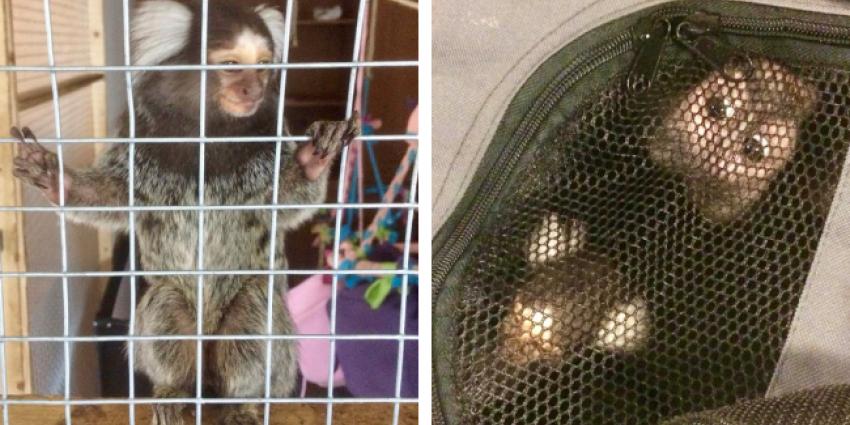 Twee apen uit woning gehaald