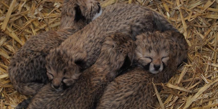 Jachtluipaard in Safaripark Beekse Bergen bevallen van vijfling