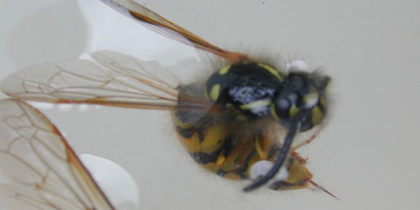 Man stuit tijdens werk aan riool op wespennest en wordt doodgestoken