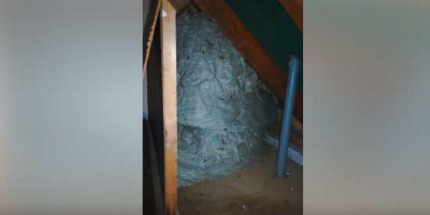 Gigantisch wespennest aangetroffen op zolder in Lieshout