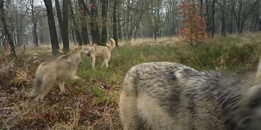 wolf-familie-veluwe