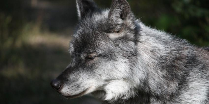 Wolf heeft Nederland weer verlaten en loopt weer in Duitsland