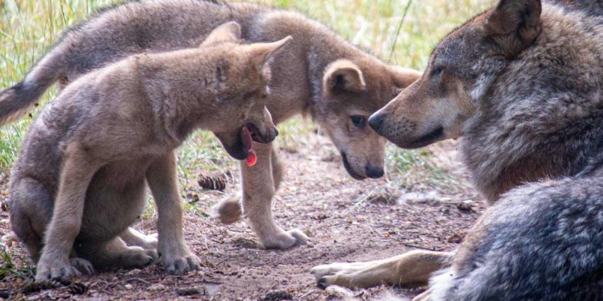 wolven-welpjes