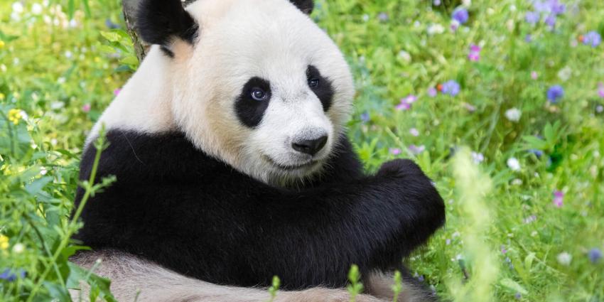 Reuzenpanda's Xing Ya en Wu Wen nu dagelijks live te volgen