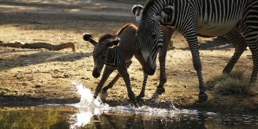 Zebraveulen voor het eerst naar buiten in DierenPark Amersfoort