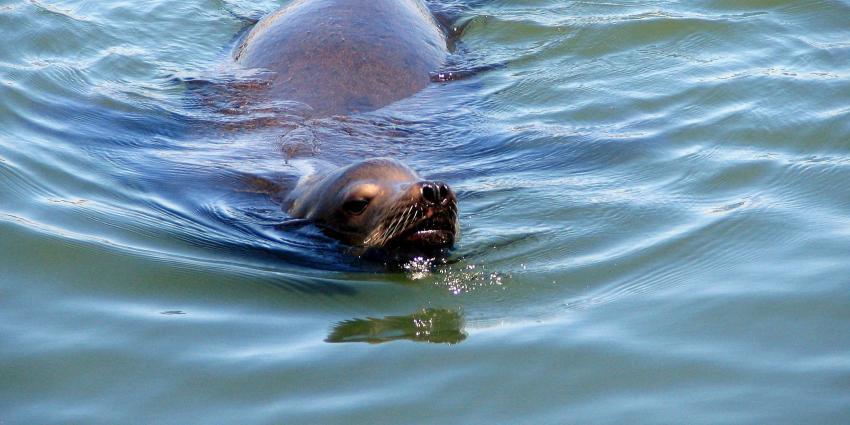 Zeehond zwemt in Oudegracht Utrecht