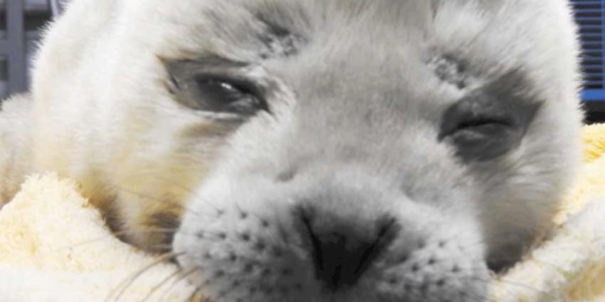 Zeehondenopvang Pieterburen vangt 1 dag oude pup op