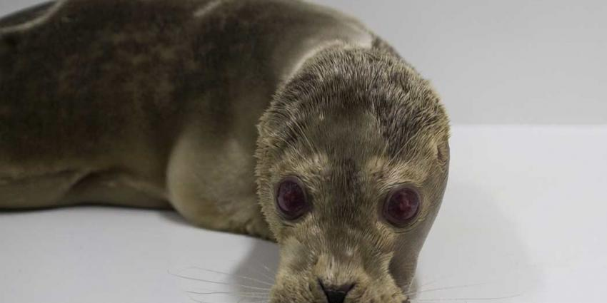 Bijzondere zeehond gevonden op het strand van Noordwijk