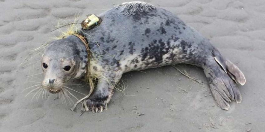 Verstrikte zeehond gered