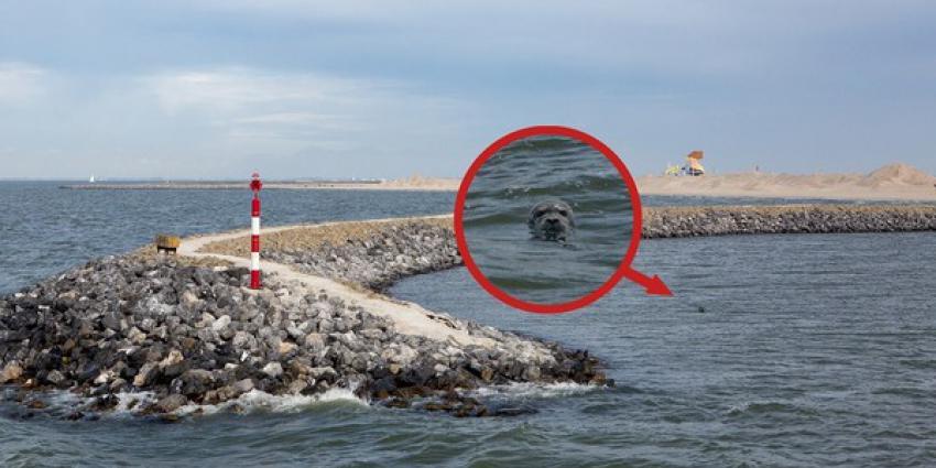 Zeehonden gespot op de Marker Wadden