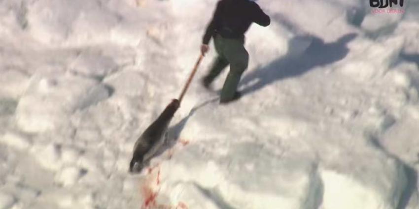 Komende dagen 60.000 zeehonden doodgeknuppeld