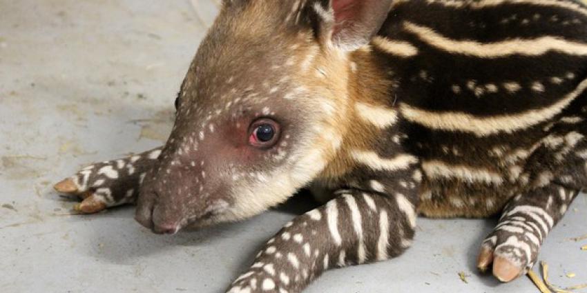 Zuid-Amerikaanse tapir geboren in ARTIS