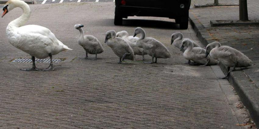 Knobbelzwanen in Zuid-Holland mogen voorlopig niet worden afgeschoten