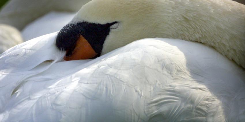 zwaan-slapen-knobbel