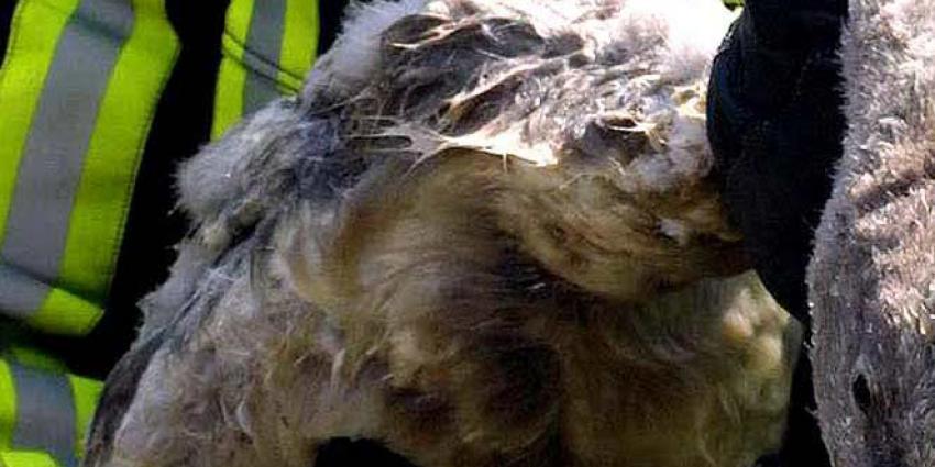 Vogelgriep bij dode zwanen in Harderwijk