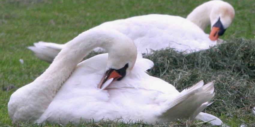 Vier zwanen de nek omgedraaid in Haagse Zuiderpark