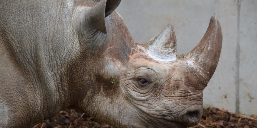 Safari Resort Beekse Bergen verwelkomt zwarte neushoorns