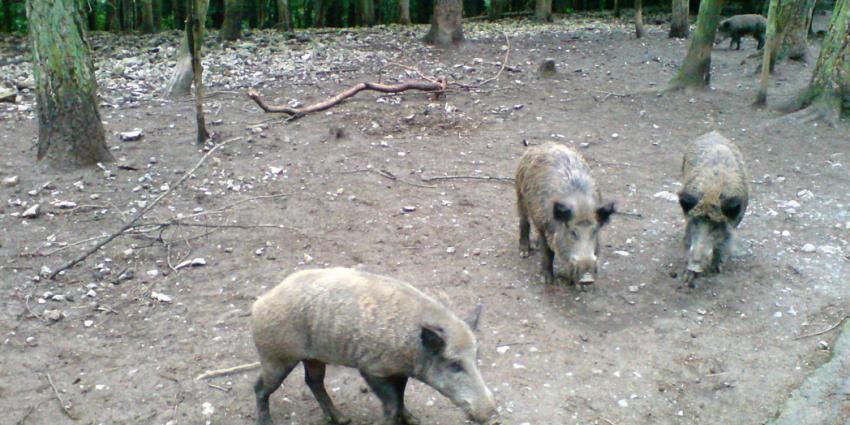 Varkenspest rukt op richting Nederland