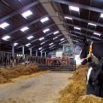 Foto van melkkoe in stal | Archief EHF
