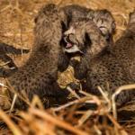 Cheetah Burgers' Zoo werpt haar 2e zesling