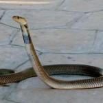 foto van cobra slang | sxc