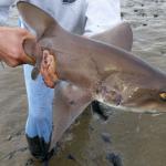 Haai duikt op bij Lauwersoog