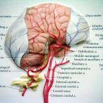 hersenen-brein