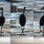 Eerste 'vreemde' vogel met knikkende knieen al op het ijs