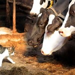 Minder kans op astma en allergieën voor kind dat opgroeit met dieren