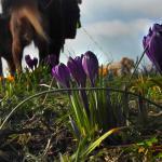 lente-krokus-hond-zon-temperatuur