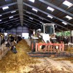 melkkoeien-mest-boer-schuur