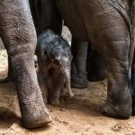Olifantje zaterdagavond snel geboren in DierenPark Amersfoort