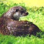 Aantal otters in Nederland blijft gestaag groeien