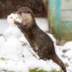 otter-sneeuwpop