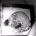 Gevlekte jaguar werpt twee zwarte welpen in ARTIS