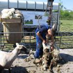 Foto van scheren schaap