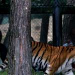 Paniek in Parijs om uit circus ontsnapte tijger